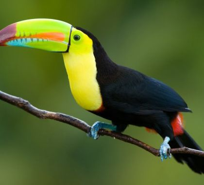 Tucan520by380